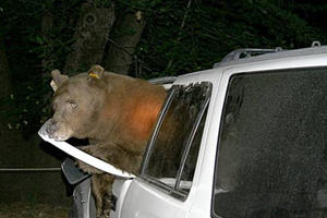 How The Hell Did A Bear Lock Itself Inside This Subaru Outback?